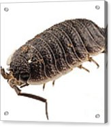 Woodlouse Species Porcellio Wagnerii Acrylic Print