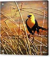 Yellow - Headed Blackbird Acrylic Print