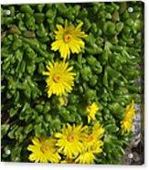 Yellow Ice Plant In Bloom Acrylic Print