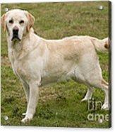 Yellow Labrador Retriever Acrylic Print