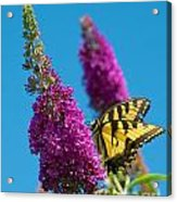 Yellow Tiger Swallowtail Papilio Glaucus Butterfly  Acrylic Print