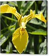 Yellow Water Iris Acrylic Print