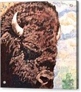 Young Bull At Yellowstone Acrylic Print