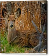 Young Mulie Acrylic Print