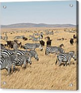 Zebra Migration Maasai Mara Kenya Acrylic Print