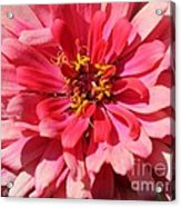 Zinnia From The Whirlygig Mix Acrylic Print