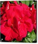 Zonal Geranium Named Candy Cherry Acrylic Print
