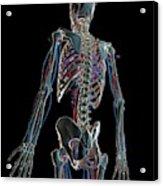 Human Vascular System Acrylic Print