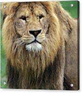 Lion Dafrique Panthera Leo Acrylic Print