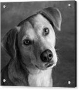 Portrait Of Red Bone Coon Mix Dog Acrylic Print
