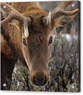 Usa, Wyoming, Yellowstone National Park Acrylic Print