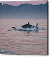 Grand Requin Blanc Carcharodon Acrylic Print