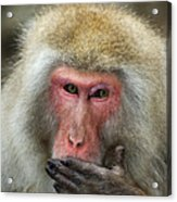Japanese Macaque Acrylic Print