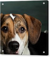 Portrait Of A Mixed Dog Acrylic Print