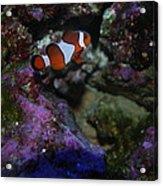 Tropical Fish Acrylic Print