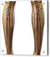 The Cardiovascular System Acrylic Print