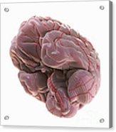 Brain With Blood Supply Acrylic Print