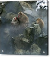 Macaque Du Japon Macaca Fuscata Acrylic Print