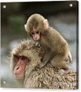 Snow Monkeys Japan Acrylic Print