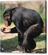 Chimpanze Pan Troglodytes Acrylic Print