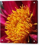 Dahlia From The Showpiece Mix Acrylic Print