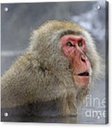 Japanese Macaque Acrylic Print