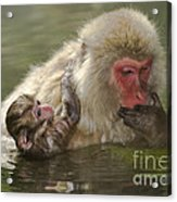 Snow Monkeys, Japan Acrylic Print