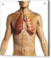 The Respiratory System Acrylic Print