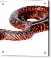 Australian Reptiles On White Acrylic Print