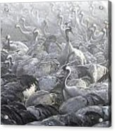 Flock Of Common Crane  Acrylic Print