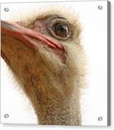 Ostrich Closeup Acrylic Print