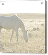 A White Mustang Feeds On Dry Grass Fields Of Arizona Acrylic Print