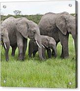 African Elephants Grazing  Kenya Acrylic Print