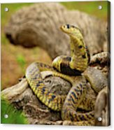 African Snakes Acrylic Print