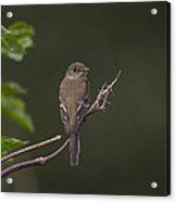 Alder Flycatcher Acrylic Print