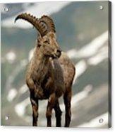 Alpine Ibex Acrylic Print
