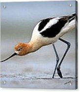 American Avocet Bird Portrait Acrylic Print