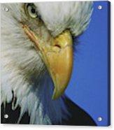 American Bald Eagle Haliaeetus Acrylic Print