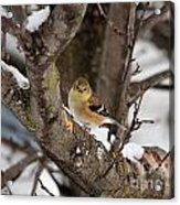 American Goldfinch In Winter Acrylic Print