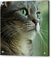 American Shorthair Cat Profile Acrylic Print by Amy Cicconi