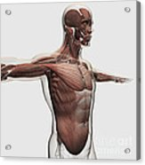 Anatomy Of Male Muscles In Upper Body Acrylic Print by Stocktrek Images