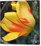 Tulip In The Wind Acrylic Print