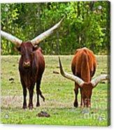Ankole-watusi Cattle Acrylic Print
