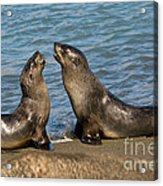 Antarctic Fur Seals Acrylic Print