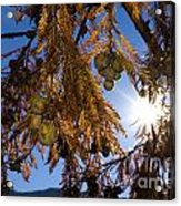 Autumn Coniferous Acrylic Print