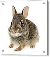 Baby Cottontail Bunny Rabbit Acrylic Print by Elena Elisseeva