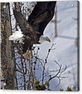 Bald Eagle   #8309 Acrylic Print