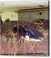 Barn Swallows Constructing Their Nest Acrylic Print by J McCombie
