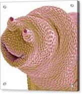 Bdelloid Rotifer, Sem Acrylic Print