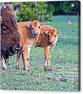Bison Babies Acrylic Print